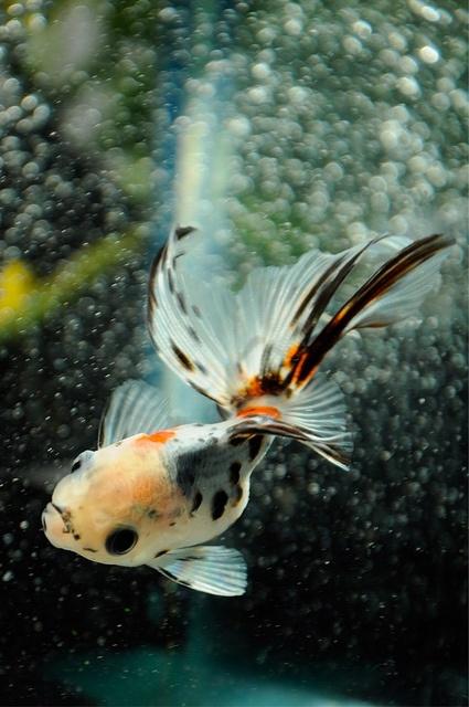 calico goldfish (for large tank)