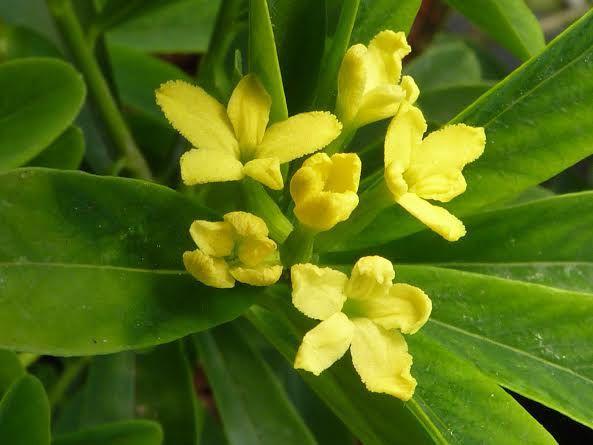 syn. Wikstroemia gemmata Daphne gemmata