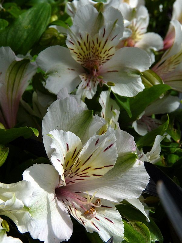 7 best Alstroemeria Rock Roll images on Pinterest Rock roll