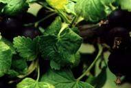 Josta (kríženec čiernej ríbezle a egreša) | Josta - Záhradníctvo ABIES