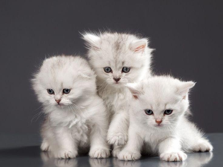Burma, Siam und Co: Exotische Katzenrassen - Seite 10