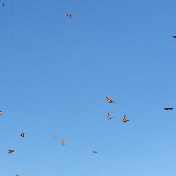Butterfly release. Conservation Garden. West Jordan Utah. Monarch Butterflies.