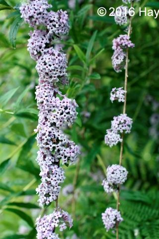 Buy Buddleja alternifolia Online | Hayloft Plants