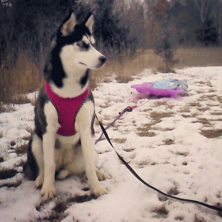 DIY Husky Pull Sled $25 Petco back attach harness, $13 plastic sled from Fleet Farn, and $2 large clasp from Fleet Farm. Start pulling safe weights depending on their age (15-20 to start for my 7 mo old). Easiest was to use a dog food bag already purchased! She loved having work to do #SiberianHusky #DogJob