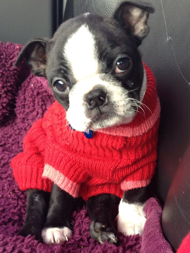 ❤ Dolly Boston Terrier Fave ❤ Buddhaful in red. It's cold outside.