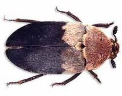 Deri böceğinin özellikleri ve deri böceği ilaçlama uygulamaları.