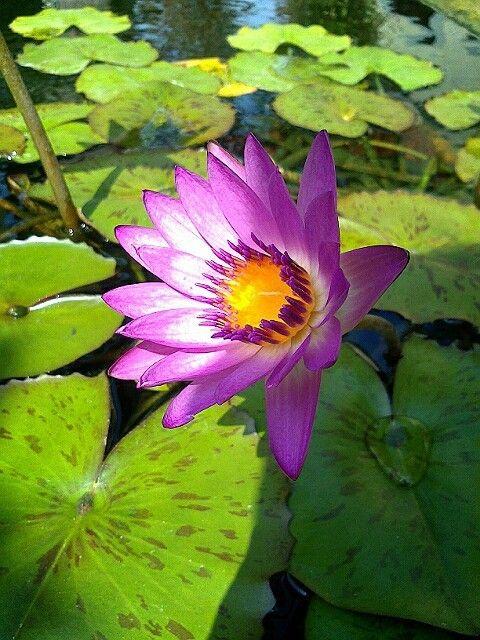 陽光映照半邊荷花(Lotus) by Blue Chen on 500px