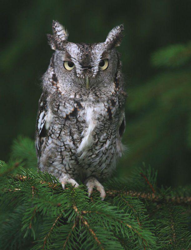 Eastern Screech Owl (Megascops asio). Photo by Ashley ...
