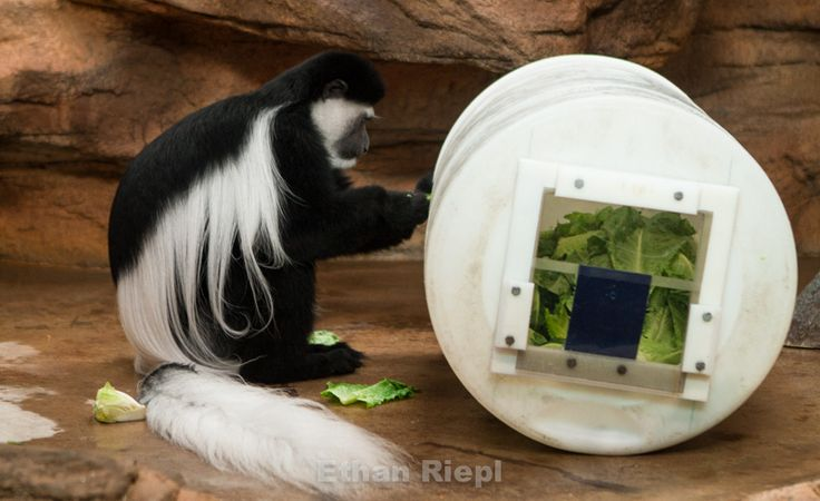 a science paper on colobus monkeys The mantled guereza (colobus guereza), also known simply as the guereza, the  eastern black-and-white colobus, or the abyssinian black-and-white colobus, is a  black-and-white colobus, a type of old world monkey  this is a good article   the scientific name colobus derives from greek kolobus meaning mutilated.