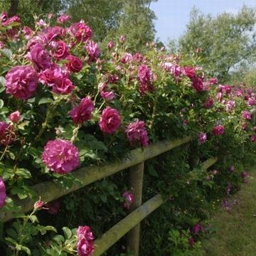 En ovanligt robust och frisk ros som inte bara kan användas i den mer formella delen av trädgården utan också till de mer halvvilda, naturligare delarna eftersom den är så tålig. De mörkt karminröda knopparna öppnar sig till halvfyllda blommor i en djuprosa nyans och exponerar de starkt lysande guldgula ståndarna vilket ger en fin kontrast till kronbladen.