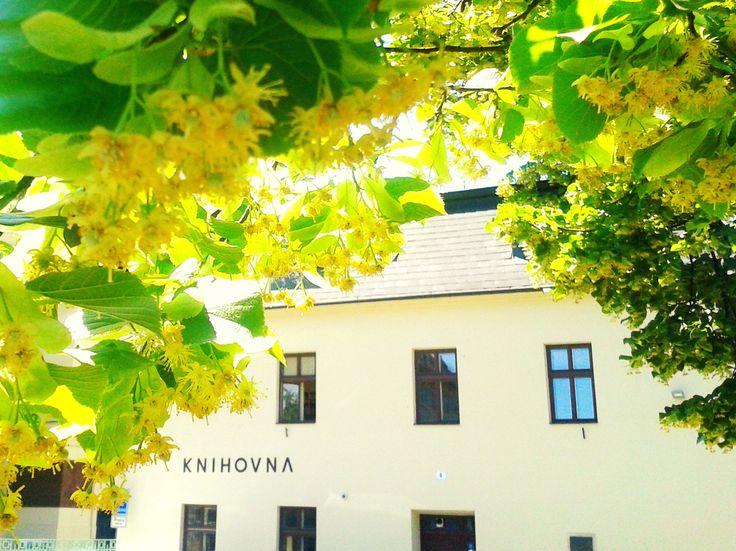 Kvetoucí lípa před knihovnou každý rok značí, že se blíží #festival #poezie Wolkrův #Prostejov.