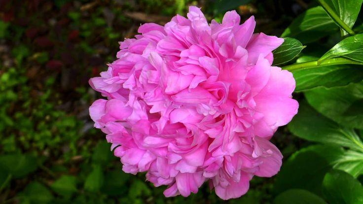 ERNESTO CORTAZAR - Y VOLVERE-EL-TRISTE...FLOWERS FOR THE BEAUTIFUL PERSO...