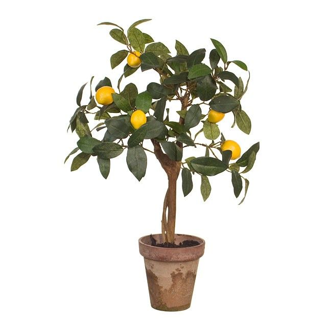 Mini Lemon Tree!  Gorg. Wish I could keep one alive!