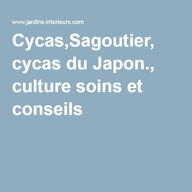 Cycas,Sagoutier, cycas du Japon., culture soins et conseils