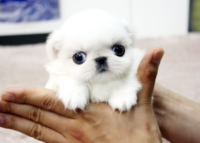 ~ New Teacup Ice White Pekingese Puppy, oh my gosh how cute is this.