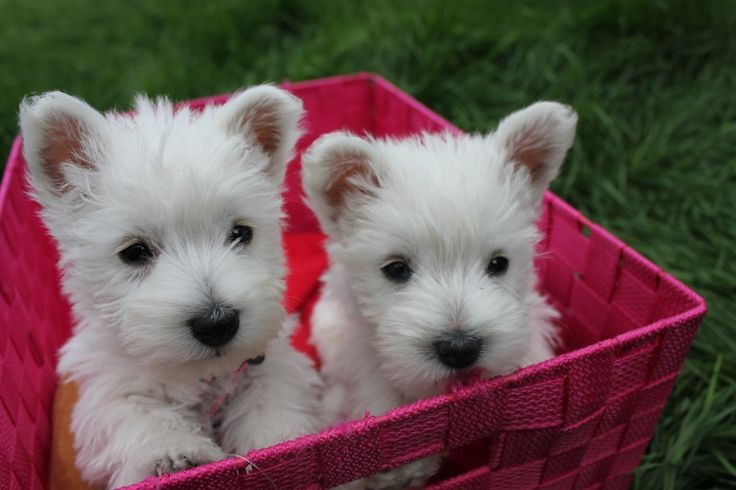 I'm 100% positive I have to save up to get a couple of Westie siblings so I can name them Dipper and Mabel. It must happen.