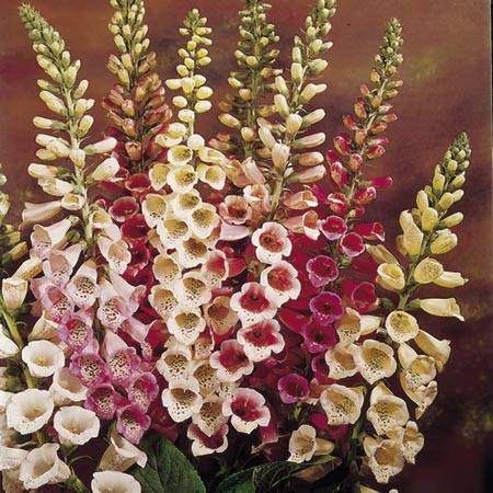 for shade garden- foxglove