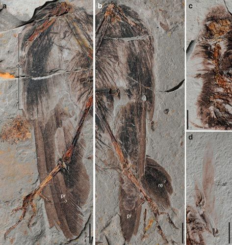 A close up of the feathers on the wings.  Fossils of the early bird Archaeornithura meemannae.