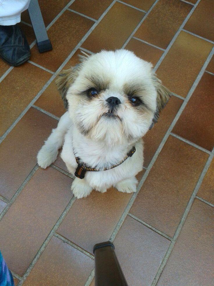 Das ist Oskar. 2 Jahre alt. Shih tzu. Charakter: dickköpfig, Prinz Charming, der Meinung: ich bin doch soooo süß.
