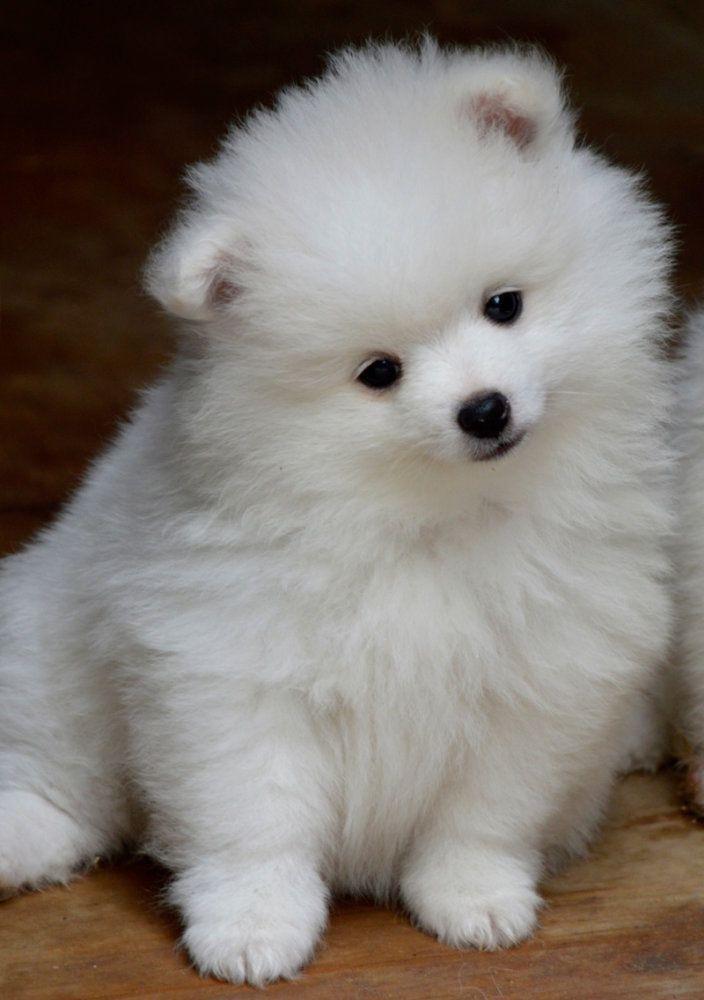 ♥RDS7 Volpino Italiano Puppy