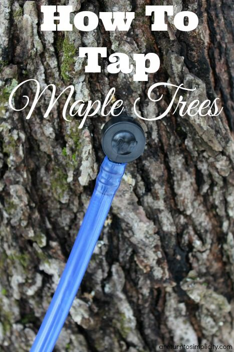 Ever wondered how to tap maple trees for making syrup? Here is a simple guide to tapping your own maple trees.   How To Tap Maple Trees | areturntosimplicity.com