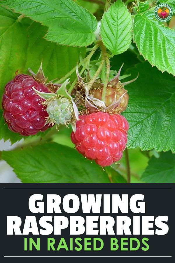 Raspberry Raised Bed Tips Getting Things Growing Epic Gardening In 2021 Growing Raspberries Fruit Garden Raspberry Plants
