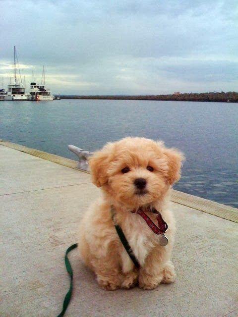 "Precious! ""It's called the ""teddy bear dog"". Half shih-tzu and half bichon frise. | Cute puppy and dog"