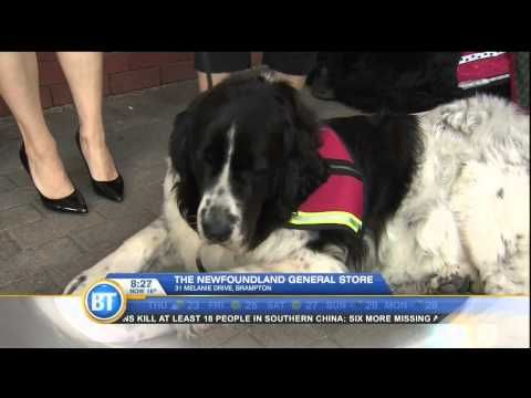 ▶ Allison of Newf-Friends.ca on Breakfast Television - learn about Newf Rescue!