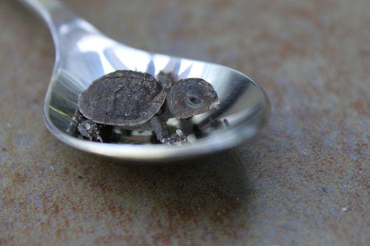 Itty bitty teeny tiny baby turtle