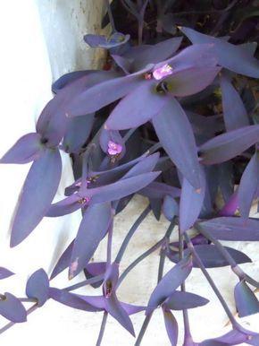 Tradescantia pallida - Plantas de follaje coloreado. Abundan en Málaga. Sus hojas, algo aterciopeladas, son aquí de un morado intenso.