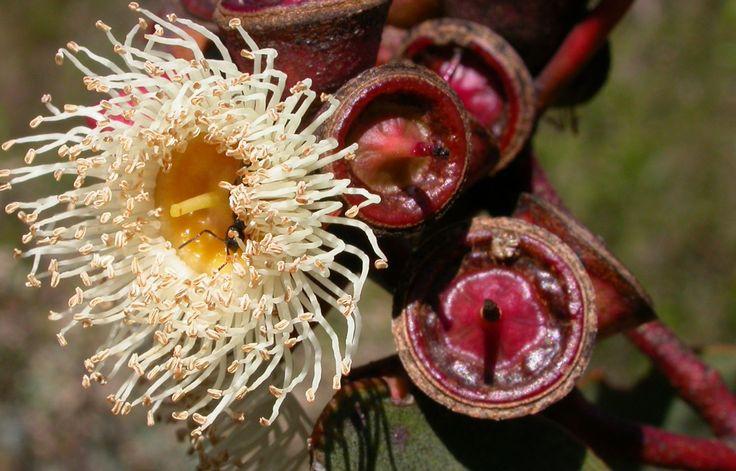 Eucalyptus from Scott Creek Conservation Park, South Australia. Photograph by Liz Powley - Gumnut Inspired - http://www.gumnut.net