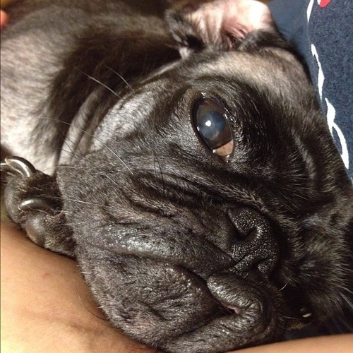 130 best pugs that are not mine images on pinterest pug dogs sleeeeeepy puggy thecheapjerseys Gallery