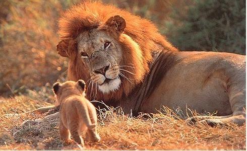 Il ruggito del leone | Blog Mammole
