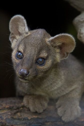 The fossa is a carniverous mammal of the mongoose family native to Madagascar. You totally want to go to Madagascar now, don't you?  Look at its gigantic baby paws!
