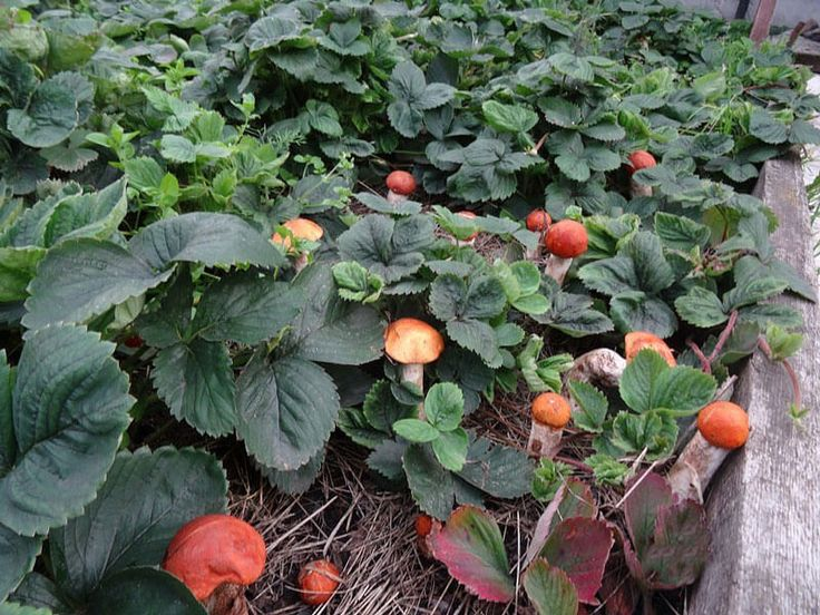 Как вырастить лесные грибы на участке