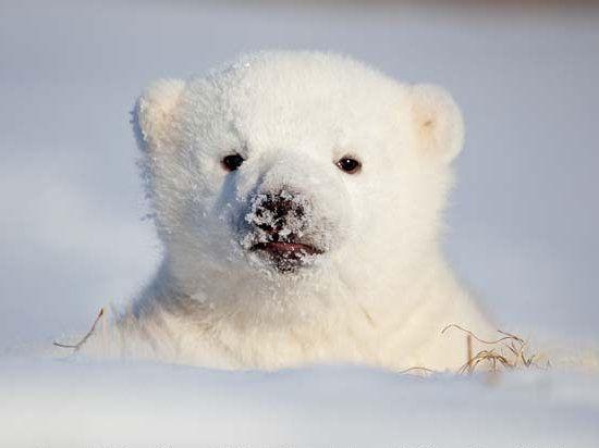 Siku the baby polar bear    Siku cam here:  http://www.polarbearcam.com/