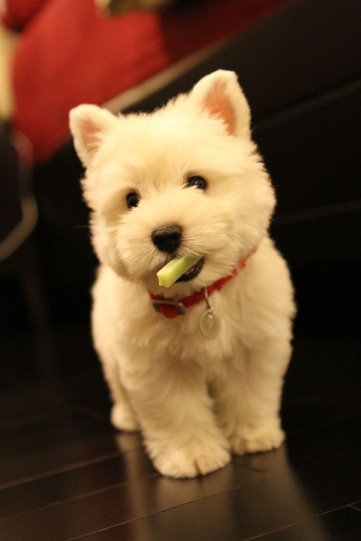 White West Highland Terrier pup. OK I'm not a small dog person