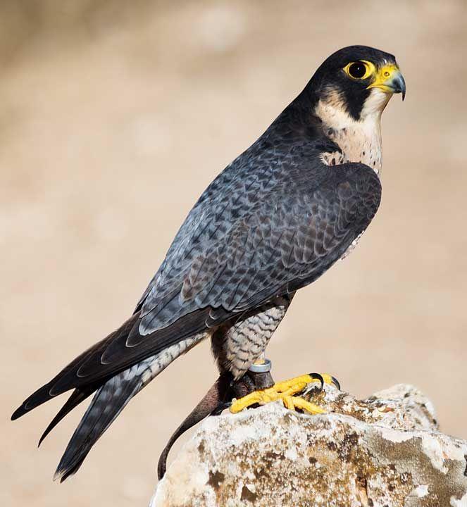 Falco Pellegrino (Falco peregrinus) #animalivolanti #falcopellegrino