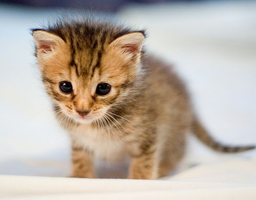 such a cutie pie! i would just want to hug it to death! this is an adorable kitten! i want one like it!