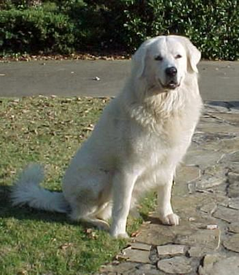 """The Slovensky Cuvac is a powerful, calm, loyal flock guardian.It is a fearless defender of its territory and """"pack,"""" whether it is humans or animals. These dogs have been known to be dramatically affectionate with members of their own family, butreserved with and even suspicious of strangers.They are wonderful with children in their own family"""