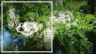 Акация (листья)