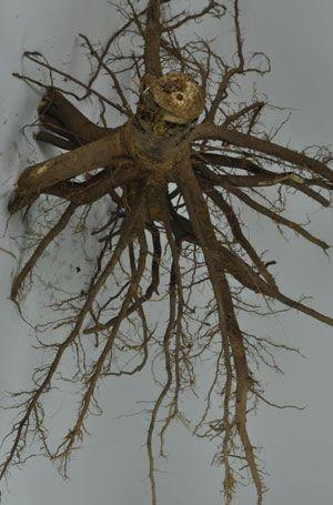 One Pre-Cut Tree Root