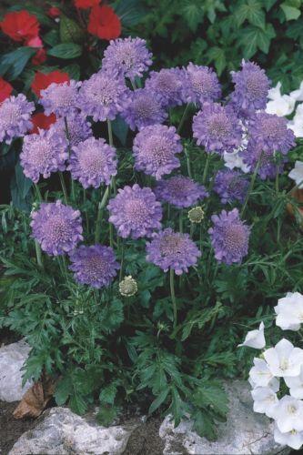 PINCUSHIN-Butterfly-Blue-Scabiosa-Columbaria-Perennial-SEEDS