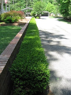 dwarf english boxwood hedge, around front porch & along front walk