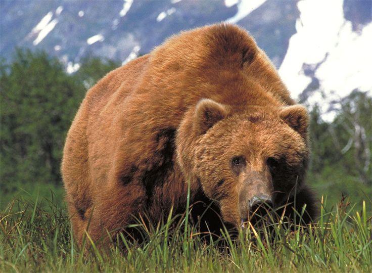 The+Kodiak+Bear+-+The+Largest+Bears+In+the+USA