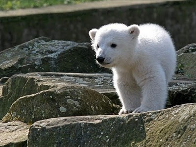 Play in Peace, Knut. He was a famous polar bear from the Berlin Zoo. His story is so heartbreaking and he was taken from us too soon. And it's so unfair he was. We miss you with all our hearts, Knut. <3 12/5/2006 - 3/19/2011