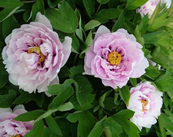 Tree Peony Blue Shire A Translucent Pink Violet Blooms Late April Early May Depending On The Weather
