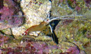 Saltwater/marine Invertebrates: Skunk cleaner shrimp, lysmata amboinensis.