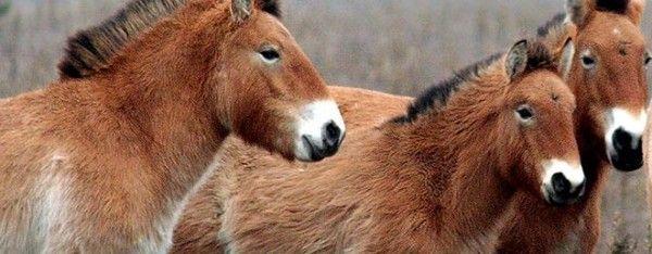 Приют лошадей Пржевальского лошадь Пржевальского, Александр Сирота, приют, видео, длиннопост, лошадь. Chernobyl exclusion zone. Przewalski's Horse  https://www.facebook.com/pripyat.a.ghost.town/