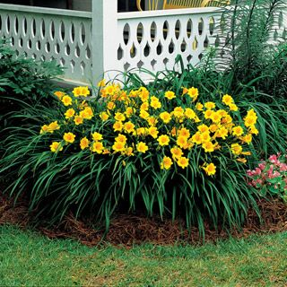 Winner of many awards, 'Stella de Oro' keeps blooming. Each bloom lasts a day. Claims of up to 400 blooms throughout the season on a single mature plant. Easy to propagate throughout the garden by simple division - dig up, separate into smaller clumps and replant. Blooming increases after division. Full sun to part shade, zone 4-9. Will thrive through neglect - but who'd want to do that to this cute plant?